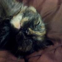 Пропала кошка, окрас черно-рыжий