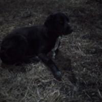 Найден пёс, окрас черный с белой грудкой