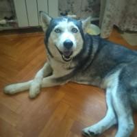 Пропала собака, порода сибирская хаски, окрас черно-белый