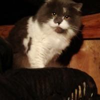 Найден британский кот