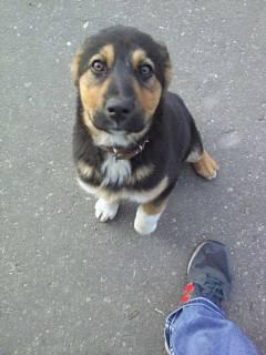 Найден щенок, окрас трехцветный