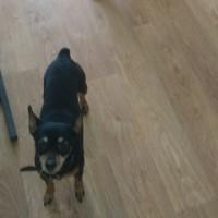 Потерялась собака, порода той-терьер, окрас черный