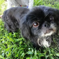 Найден пёс, окрас черный