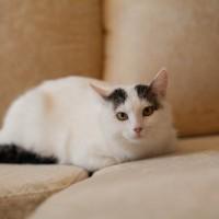 В добрые руки, кот, окрас белый с черными пятнами
