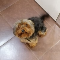 Найден пёс, порода йоркширский терьер