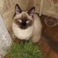 Пропала кошка, окрас сиамский