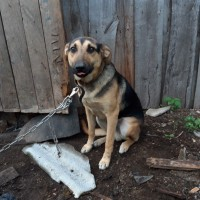 В добрые руки, пес, окрас черно-коричневый