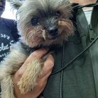 Найдена собака, порода йоркширский терьер