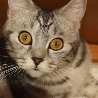 Пропала кошка, порода британская, окрас серый
