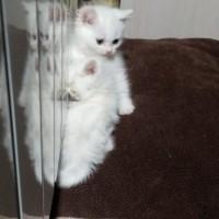 В добрые руки, кошка, окрас белый, пушистая