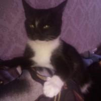 В добрые руки, кошка, окрас черно-белый