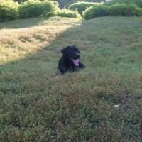 Найден пес, порода лабрадор, окрас черный