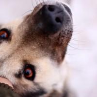 В добрые руки, собака, окрас серо-коричневый