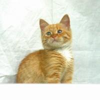 В добрые руки, котенок, окрас рыжий с белой грудкой