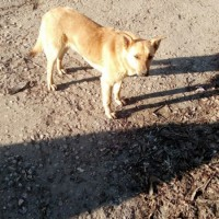 Пропала собака, окрас рыжий