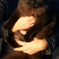 Найдена кошка, окрас черный