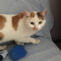Найдена кошка, окрас белый с рыжими пятнами