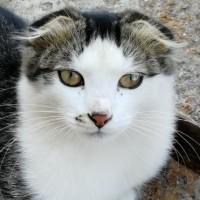 В добрые руки, котик, окрас черно-белый, полосатый