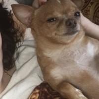 Пропала собака, порода чихуахуа