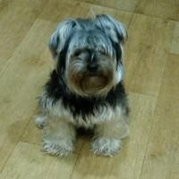 Найден щенок, порода йоркширский терьер