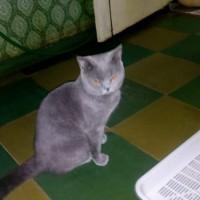 Найден кот, окрас дымчатый