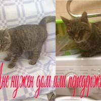 Найдена кошка, окрас камышовый