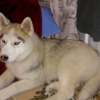 Найдена собака, порода хаски, окрас серо-белый