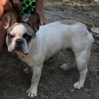 Потерялась собака, порода французский бульдог