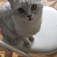Пропал котик, порода шотландец, окрас светло-серый