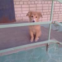 Найден щенок, окрас рыжий