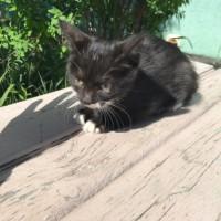 В добрые руки, кошка, окрас черный с белыми пятнами