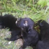 Найдены щенки, окрас черный
