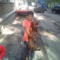 Найдена собака, порода такса, окрас коричневый