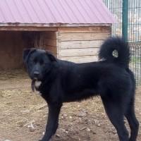 В добрые руки, собака, окрас черный с белым галстучком
