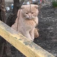 Найден кот, окрас персиковый
