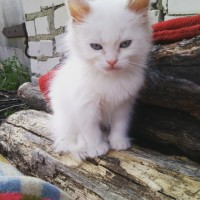 В добрые руки, котята, окрас трехцветный и белый