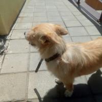 Найдена собака, порода лайка, окрас рыжий