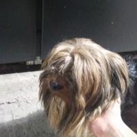 Была найдена собака Йоркширский терьер