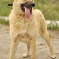 В добрые руки собака цвет яркозолотистый
