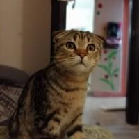 Пропал кот, порода британец вислоухий, окрас рыжий, полосатый