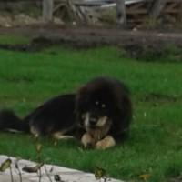 Пропала собака, порода тибетский мастиф, окрас черно-коричневый.