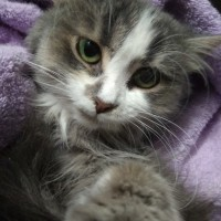В добрые руки, кошка, окрас серо-белый