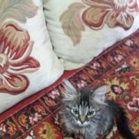 Пропал кот, окрас серый