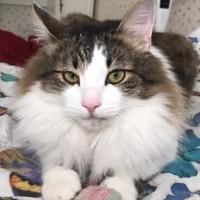 Пропал кот цвет бело-серый