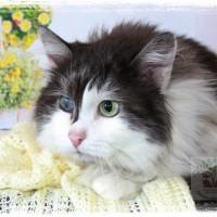 В добрые руки, кот, окрас черно-белый, пушистый