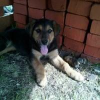 Найдена собака с щенками, порода русская гончая, окрас черно-рыжий
