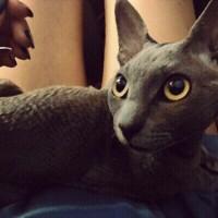 Пропал кот, кот порода корниш рекс, окрас серый