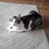 Пропала кошка, окрас серо-белый