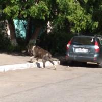 Найдена собака, порода алабай, окрас коричнево-белый