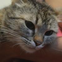 В добрые руки кошка окрас черепаший